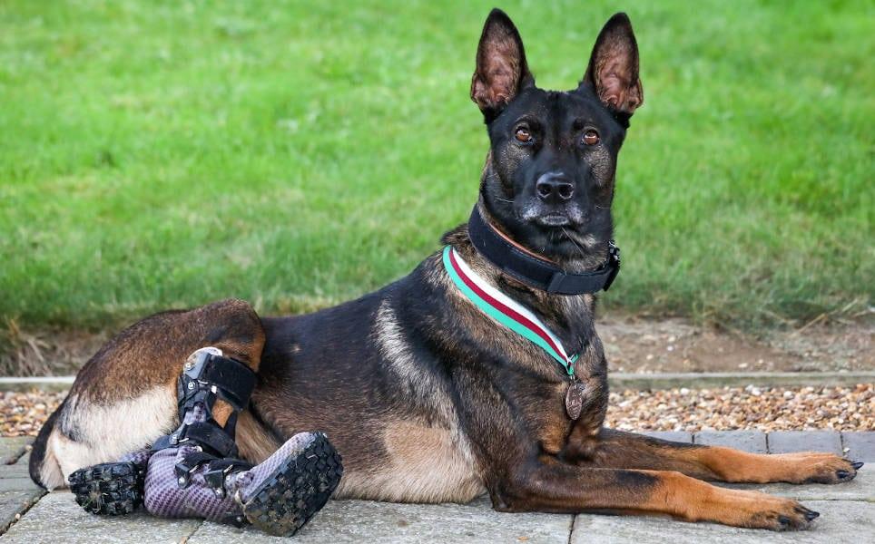 Military dog receives animal Victoria Cross